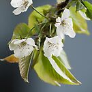More Blossom by Alan Rodmell