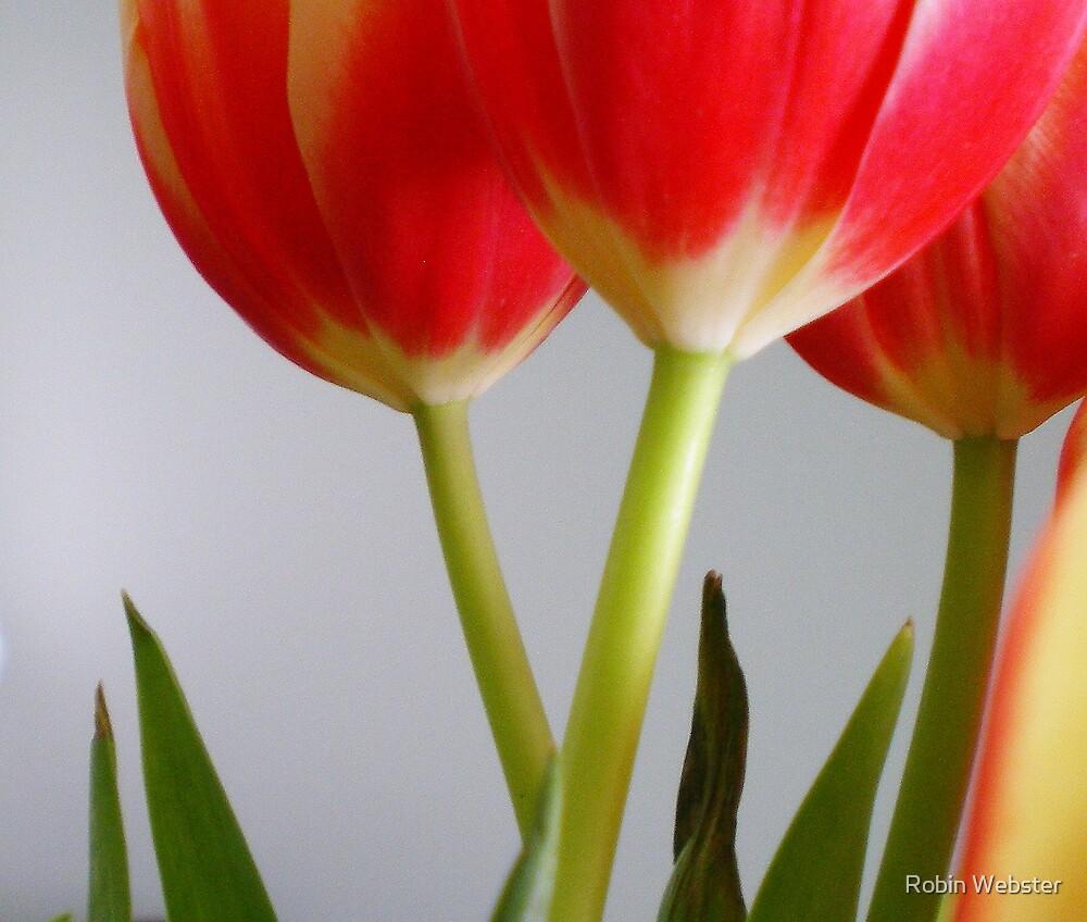 Tulips II  by Robin Webster