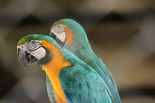 Araras - Zoo Rio de Janeiro - Brazil by angelo Sartori
