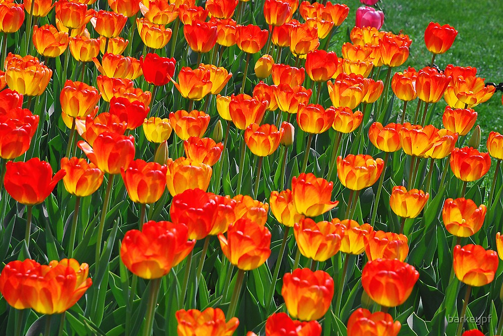 Flaming Tulips by barkeypf