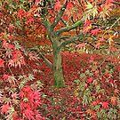 Acer at Westonbirt by RedHillDigital