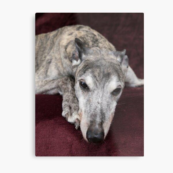 Brindle greyhound resting Metal Print