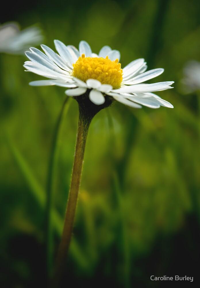 Daisy by Caroline Burley