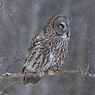Perching Owl... by Daniel  Parent
