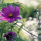 Cosmos and Bokeh by Astrid Ewing Photography