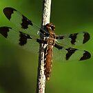 Dragonfly by scenicvibephoto
