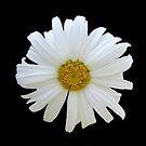 Summer Daisy by Heather Friedman