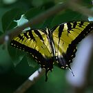 Tiger Wings by scenicvibephoto