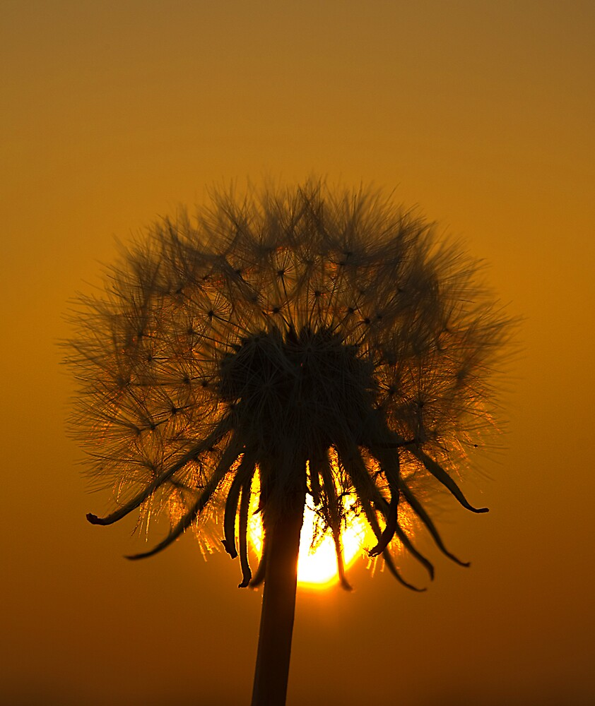 Dandelion at sunset by Mark Cook