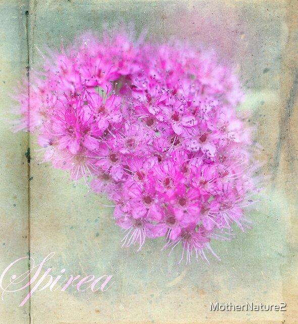Pink Spirea by MotherNature2