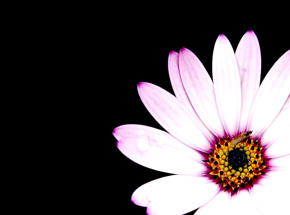 Daisy by Paul Sims