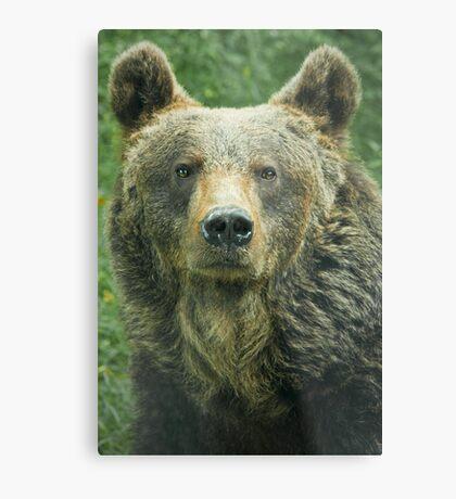 Eurasian Brown Bear Metal Print