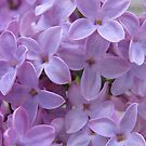 Lilacs I by Nancy Polanski