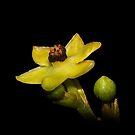 Endiandra floydii  by andrachne