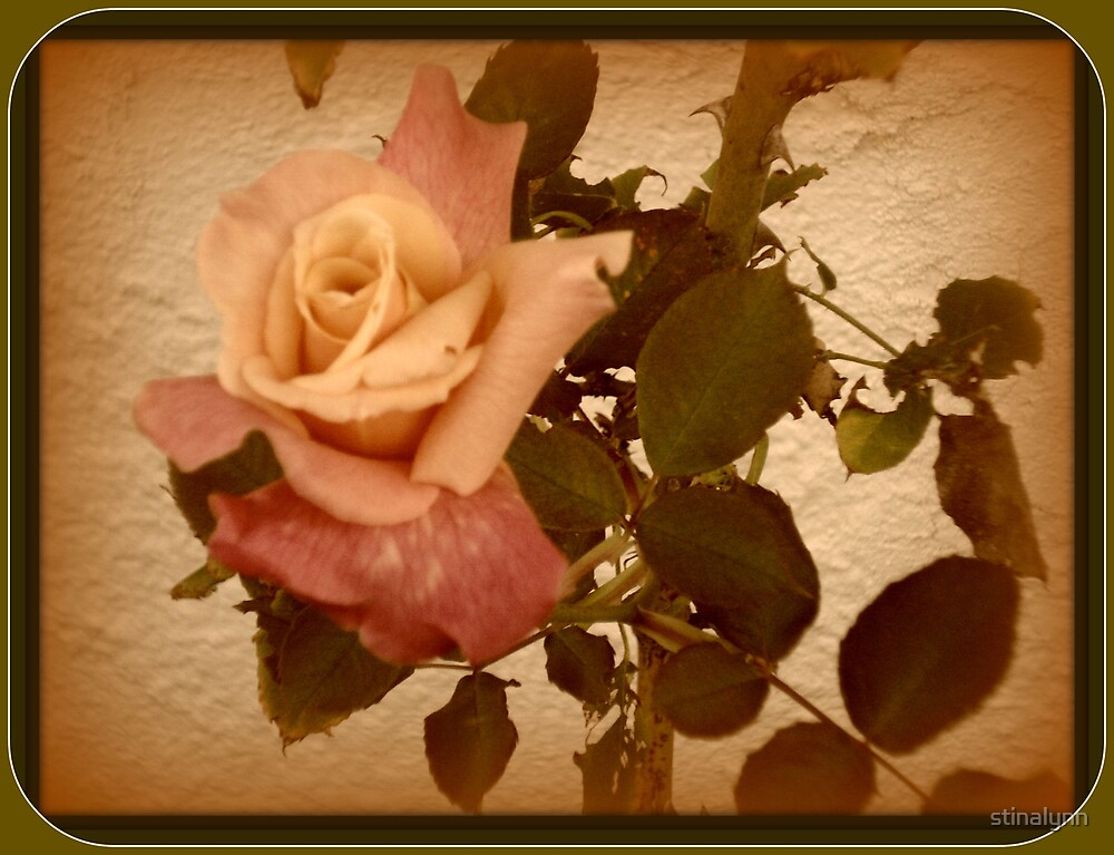 Solitary Rose by stinalynn