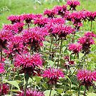 Bee Balm Blast by Monnie Ryan