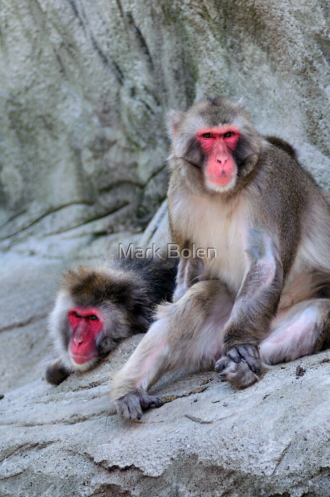 Snow Monkey Blush by Mark Bolen