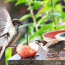 Sparrows........' I tell you, there is a worm in there this big....!!  ' by Roy  Massicks
