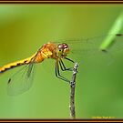 Female Ruby Meadowhawk Dragonfly by Deb  Badt-Covell