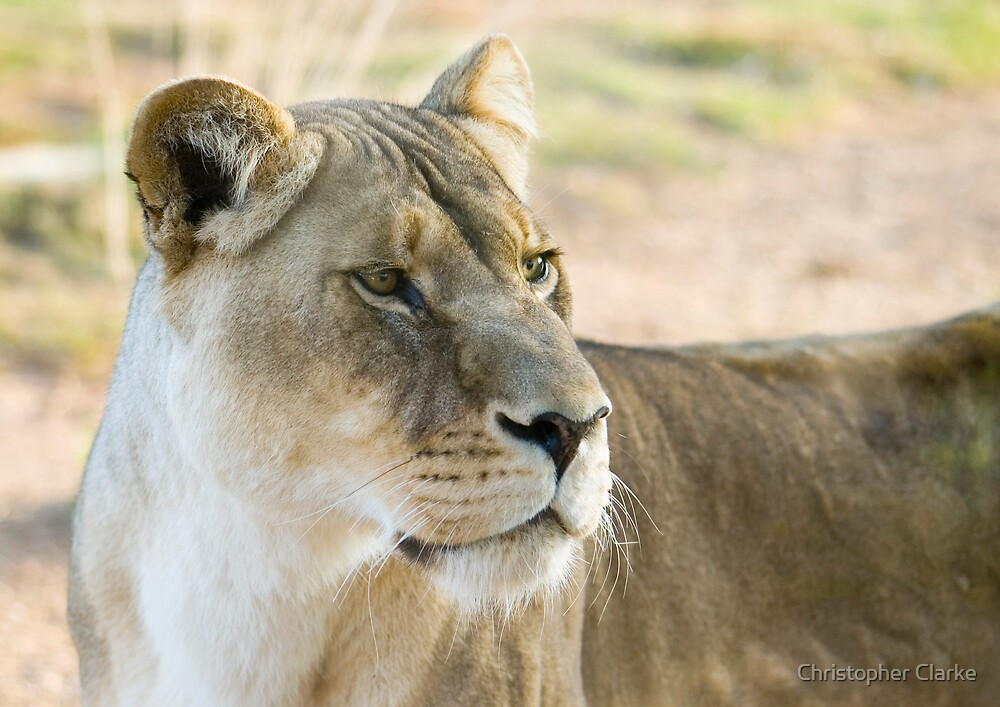 Lioness on alert by Christopher Clarke