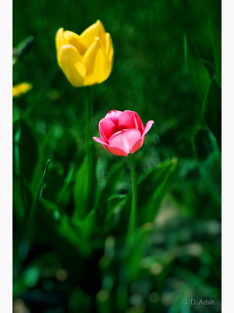 Two Tulips by adsitprojectpro