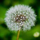 Dandelion by Alan Rodmell