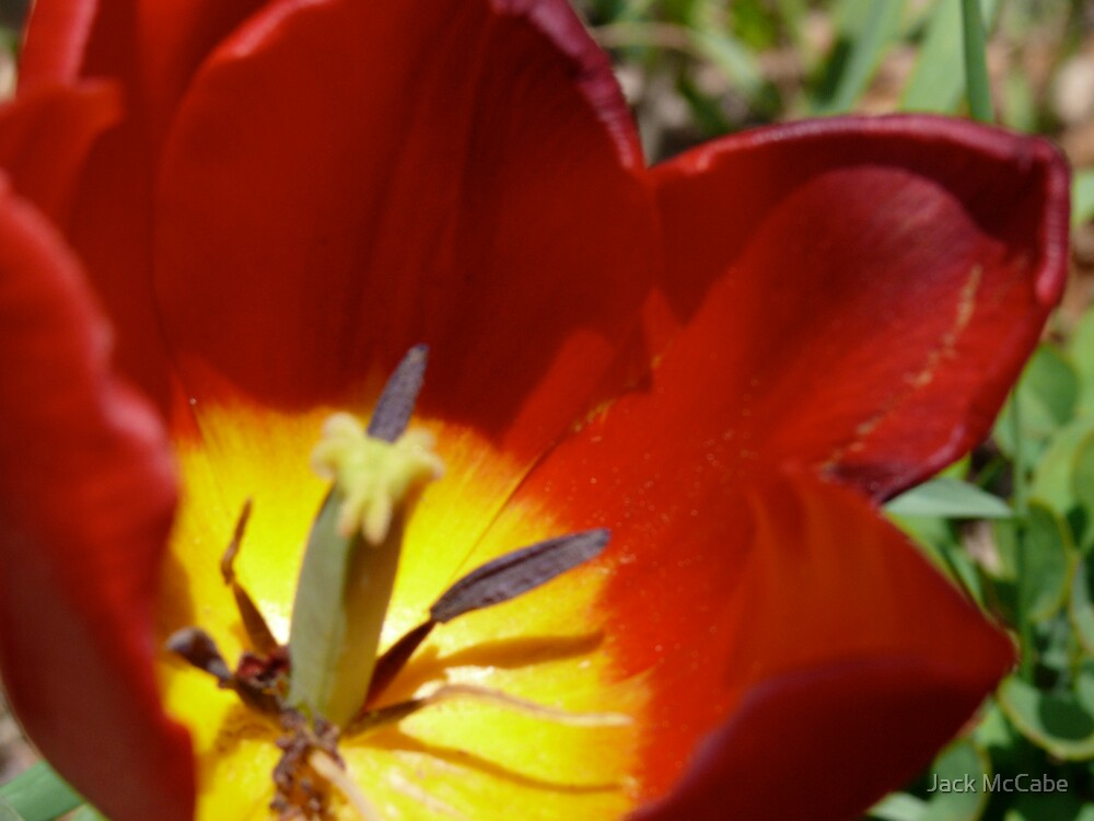 Tulip by the Bulkhead  by Jack McCabe