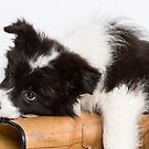 Sheepdog Puppy Training by Amy Collinson