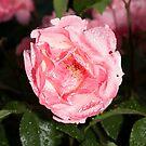Rain droplets on English garden Rose  by allaballa