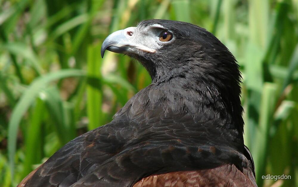 Hawk 2 by edlogsdon