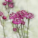 Dark Pink Flowers on a Misty Morning by jacqi