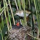 Reed Warbler and Cuckoo by Dean   Eades