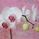 Crying Orchid by EmmaLeigh
