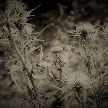 Jaggy Thistle by MrIanP