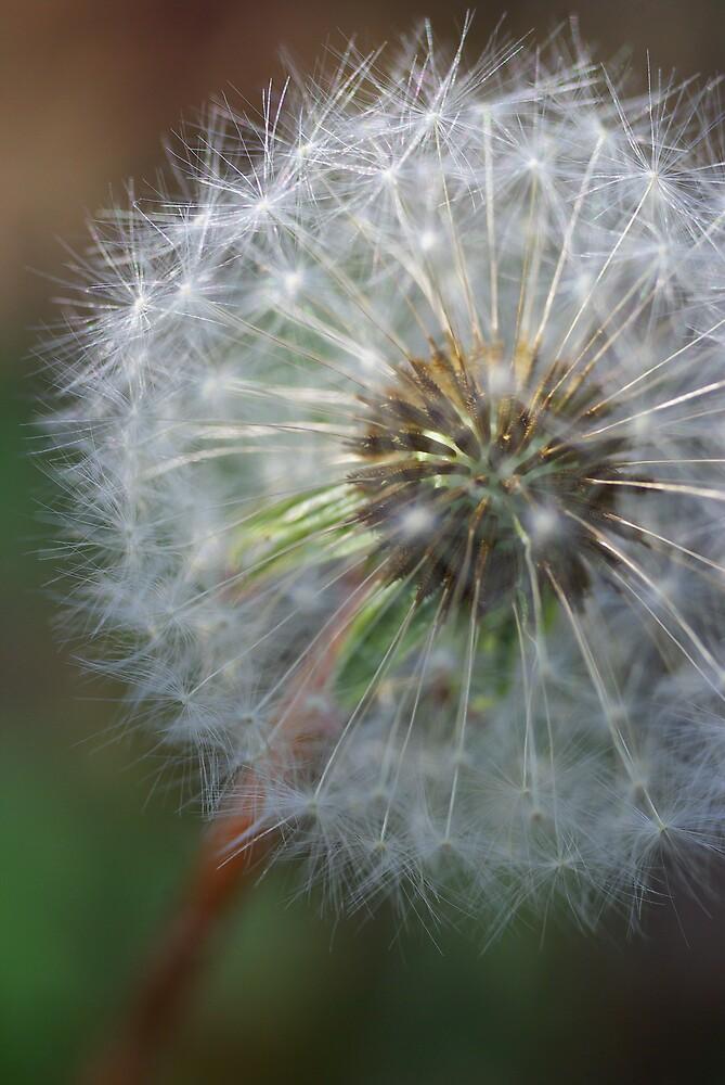Dandelion! by Michael Gatch
