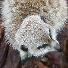 Meerkat by Ben de Putron