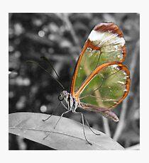 Glasswing Photographic Print
