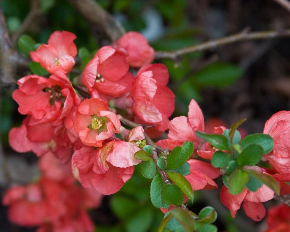 Peachy Blossoms by greyrose