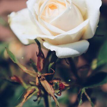 White Rose by ohmyjays