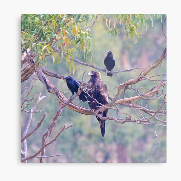 RAPTOR ~ Wedge-tailed Eagle & Forest Raven by David Irwin ~ WO Metal Print