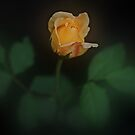 Yellow Rose Beauty by Bev Woodman