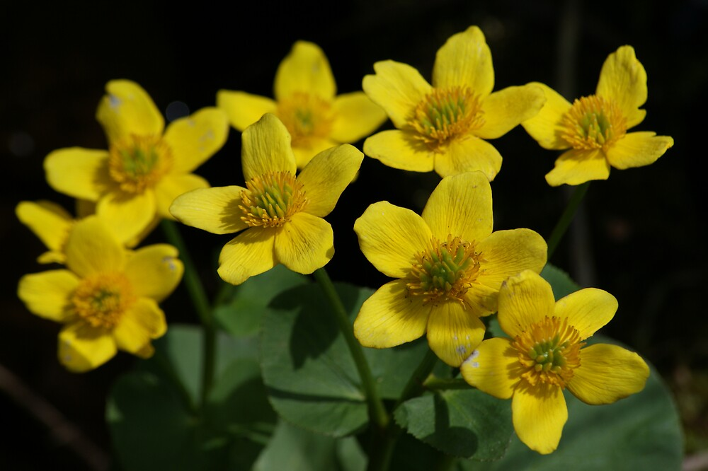 Yellow Buttercup by Xyandor