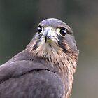 Falcon portrait by lizdomett