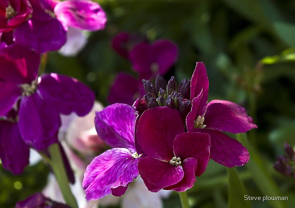 Purple Wallflower. by Steve plowman