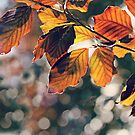 Copper Beech Warmth by Astrid Ewing Photography