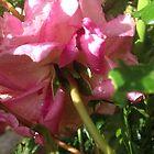 Versteckte Träne des rosa von lucielitchi