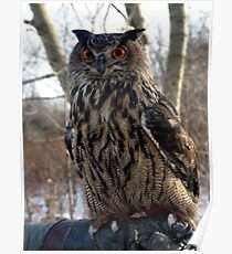 Daytime, Red-Eyed Cape Eagle Owl Poster