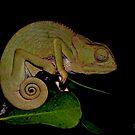Changing Colour - Chameleon (Chamaeleonidae) by Deborah V Townsend