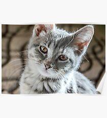 Little  Tabby Grey Kitten   Poster