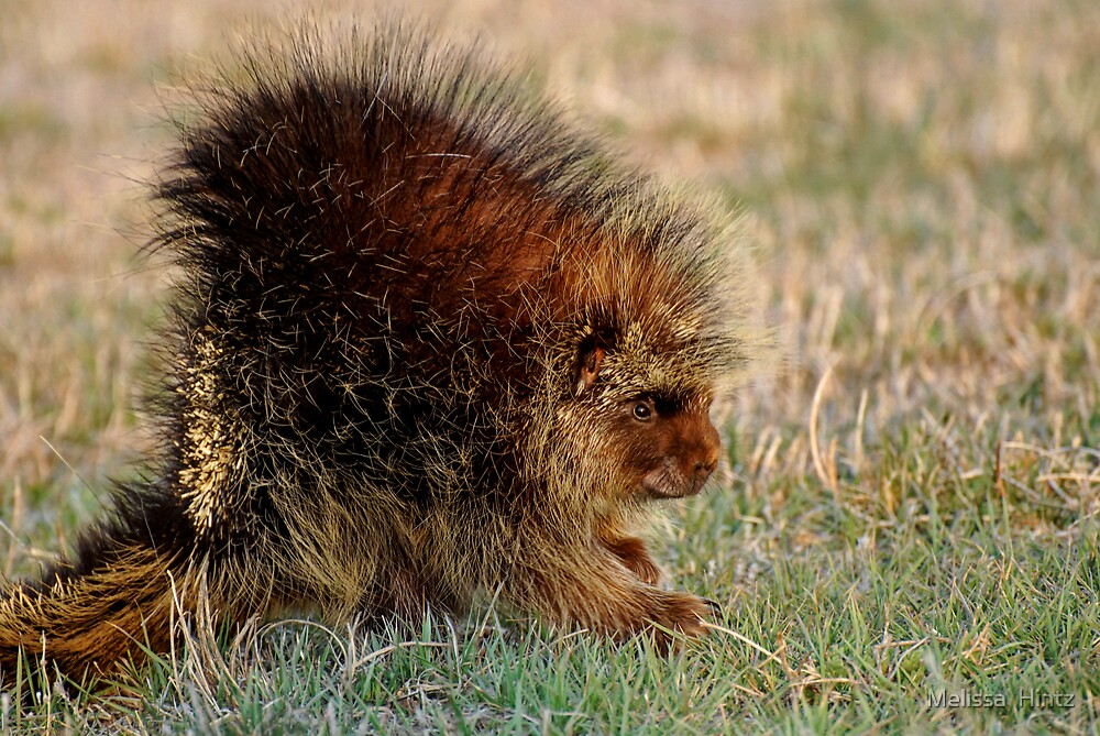 Porcupine 'side view' by Melissa  Hintz